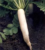hortalizas de raices carnosas
